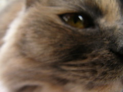 nose(0.0), exotic shorthair(0.0), persian(0.0), british shorthair(0.0), snout(0.0), whiskers(0.0), animal(1.0), mammal(1.0), cat-like mammal(1.0), close-up(1.0), cat(1.0), eye(1.0), organ(1.0),