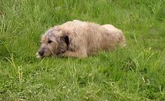 animal sports(0.0), pumi(0.0), sports(0.0), irish soft-coated wheaten terrier(0.0), goldendoodle(0.0), dog sports(1.0), dog breed(1.0), animal(1.0), dog(1.0), pet(1.0), glen of imaal terrier(1.0), irish wolfhound(1.0), catalan sheepdog(1.0), carnivoran(1.0), terrier(1.0),