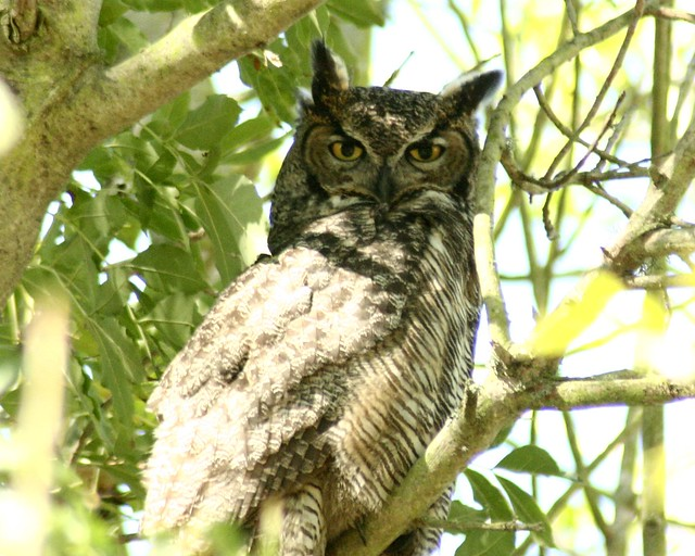 great horned owl, now appearing daily in bernal heights