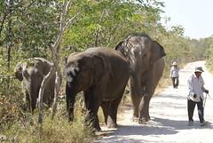 adventure(0.0), zoo(0.0), african elephant(0.0), animal(1.0), indian elephant(1.0), elephant(1.0), elephants and mammoths(1.0), fauna(1.0), mahout(1.0), safari(1.0), wildlife(1.0),