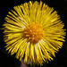 Coltsfoot - Photo (c) Steve Chilton, some rights reserved (CC BY-NC-ND)
