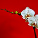 Moon Orchid On Red Wall