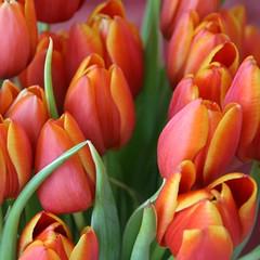 Rood tulpen