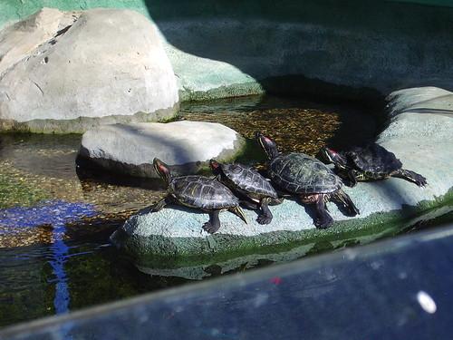 Terrapins - BlueReef Aquarium