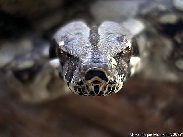 Kaa - South American Boa Constrictor | Flickr - Photo Sharing!