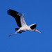 Wood Stork - Photo (c) Jerry Oldenettel, some rights reserved (CC BY-NC-SA)