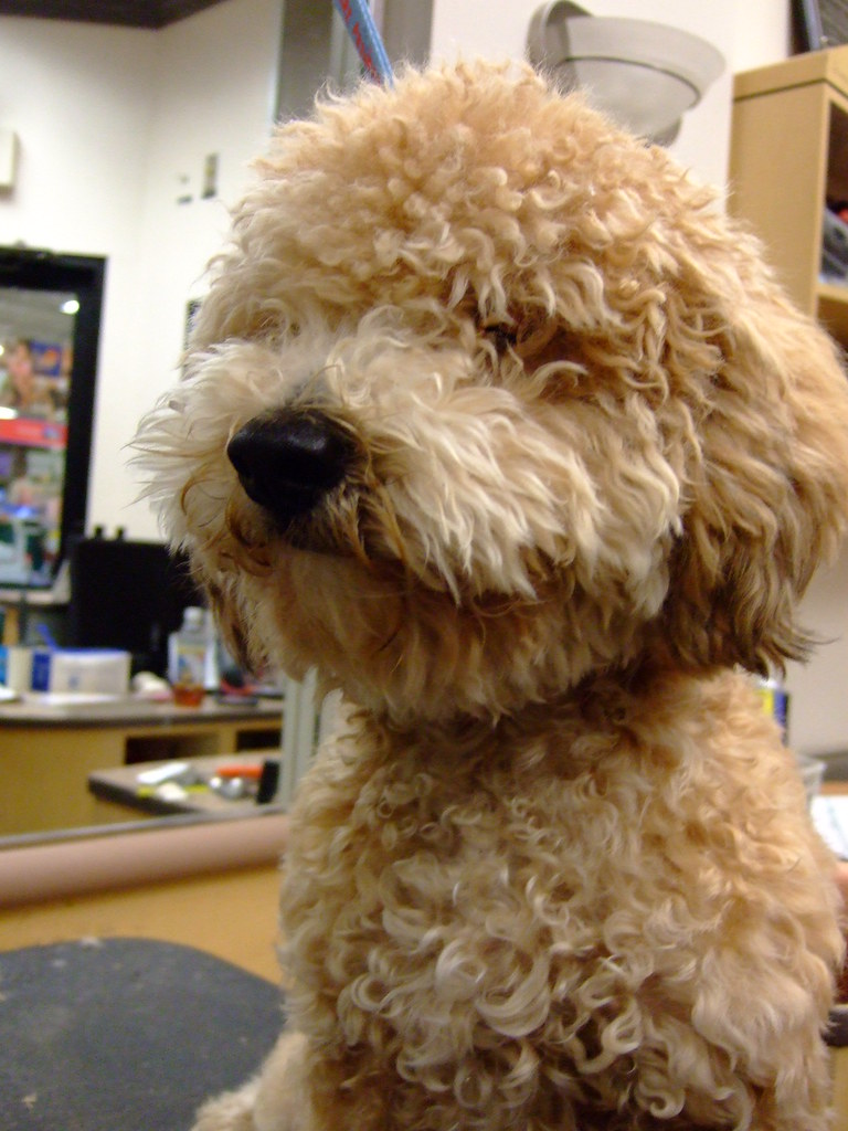 Bichon/Poodle Mix - a photo on Flickriver