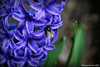 Hyacinth with bee by Rebecca_bexxi