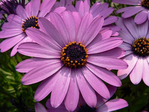 Universo jard n mundos de plantas y flores dimorphoteca - Clase de flores y sus nombres ...