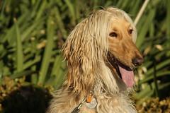 dog breed, animal, dog, saluki, pet, english cocker spaniel, carnivoran, afghan hound,