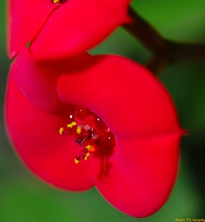 Crown of Thorns - Flower - Macro (20070425-102444-PJG)