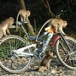 Monkeys on a Bike - Khao Sok, Thailand