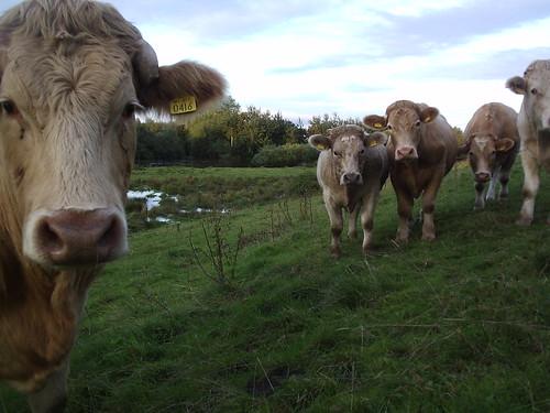 Cows P1010165