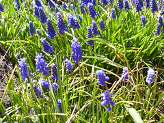 english lavender(0.0), lavender(0.0), scilla(0.0), bluebonnet(0.0), flower(1.0), grass(1.0), plant(1.0), herb(1.0), wildflower(1.0), flora(1.0), meadow(1.0), hyacinth(1.0),