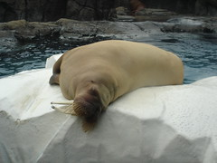 sea(0.0), animal(1.0), seals(1.0), sea lion(1.0), marine mammal(1.0), walrus(1.0), fauna(1.0),