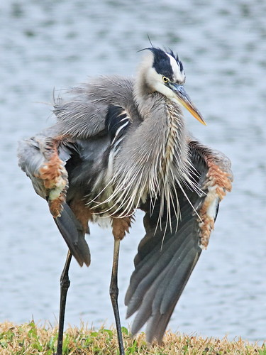 Great Blue Heron backyard 06-20161210