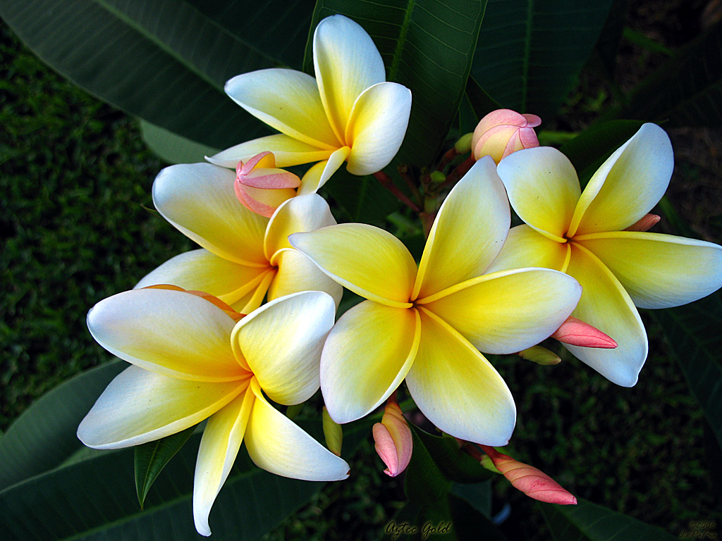 Single Plumeria The plumeria aztec gold