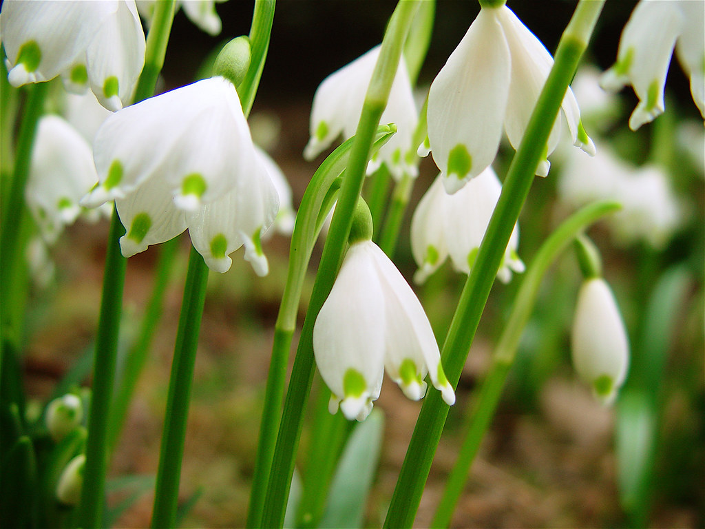 Märzenbecher / Snowflake / Spring Flowers