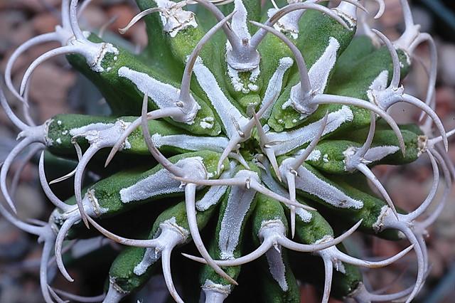 Euphorbia columnaris. Credit: Mike Keeling