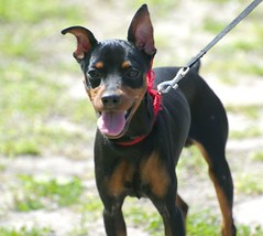 lancashire heeler(0.0), vulnerable native breeds(0.0), miniature pinscher(0.0), austrian black and tan hound(0.0), patterdale terrier(0.0), dog breed(1.0), animal(1.0), praå¾skã½ krysaå™ã­k(1.0), dog(1.0), german pinscher(1.0), manchester terrier(1.0), dobermann(1.0), pet(1.0), jagdterrier(1.0), russkiy toy(1.0), guard dog(1.0), pinscher(1.0), toy manchester terrier(1.0), toy fox terrier(1.0), english toy terrier(1.0), polish hunting dog(1.0), carnivoran(1.0), terrier(1.0),