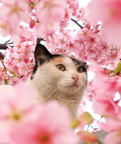 Cat among the cherry blossoms 3