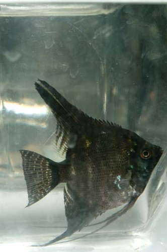 Black marble Angelfish (Pterophyllum scalare) | Flickr ...