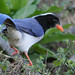 Red billed Blue magpie by shivanayak