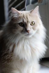 domestic long-haired cat, animal, persian, british semi-longhair, small to medium-sized cats, pet, fauna, siberian, close-up, cat, carnivoran, whiskers, norwegian forest cat,
