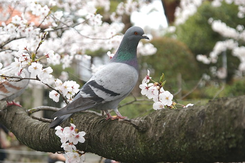 Dove on a cherry tree
