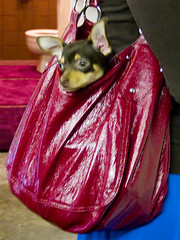 doggy in purse