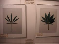 Varietals of marijuana