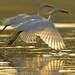 simultaneousness…♫ little egrets - egretta garzetta -  from bali ♫♫♫ by bocavermelha-l.b.