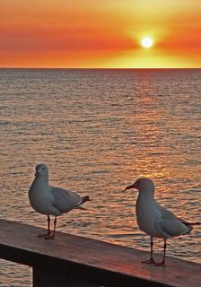 Heron Island Seagulls at Sunset
