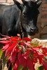 Cow and Pointsettia - Luang Prabang, Laos