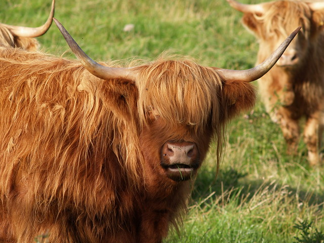 Hairy Cattle 77