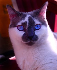 nose, animal, kitten, siamese, small to medium-sized cats, pet, snowshoe, thai, tonkinese, close-up, cat, carnivoran, whiskers, balinese, domestic short-haired cat,