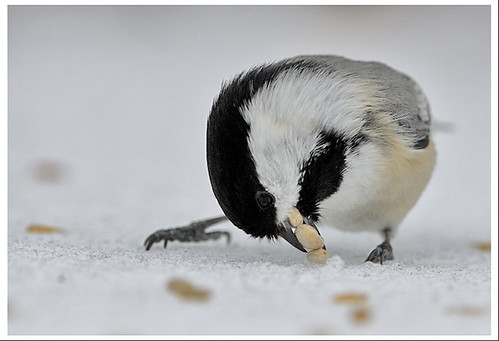 birds closeup nj hawkwatch blackcappedchickadee 300mmf4d pixelhawkfav