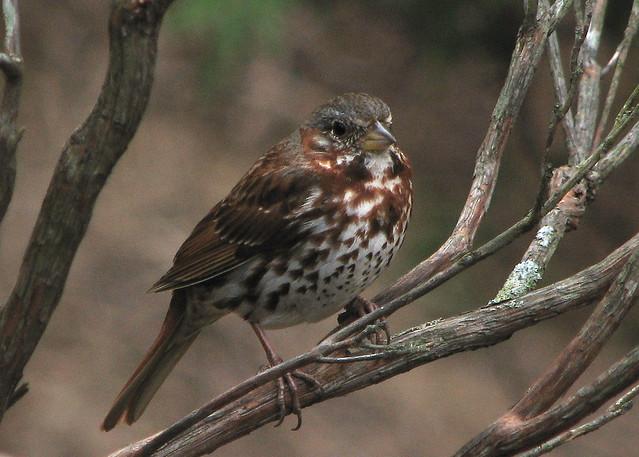 Eastern  fox sparrow