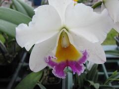cattleya labiata, flower, plant, laelia, flora, cattleya trianae,