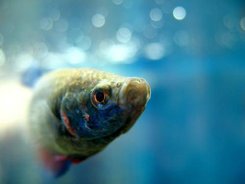Nippyfish a betta blog common diseases bettas bring home for Betta fish disease