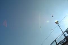 Sea gulls 03
