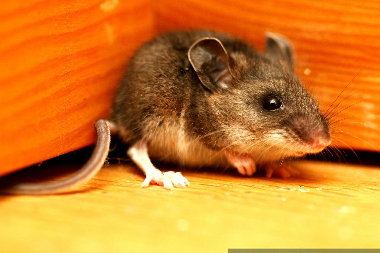 Mice In Living Room