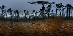 Pine forest after the storm