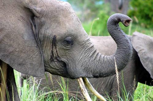 elephant_trunk