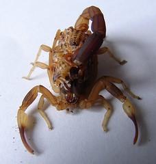 arthropod, animal, scorpion, invertebrate, insect, macro photography, fauna,