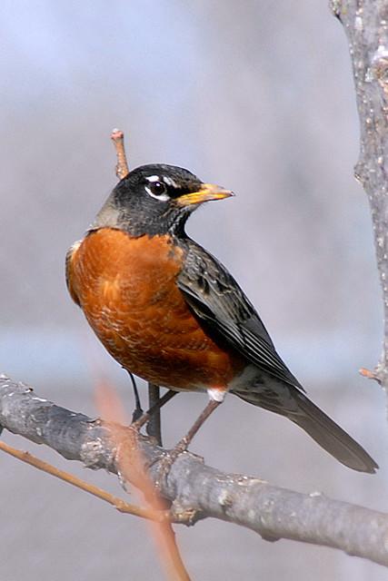 american robin bird flying - photo #23