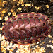 Lined chiton - Photo (c) matt knoth, some rights reserved (CC BY-NC-ND)
