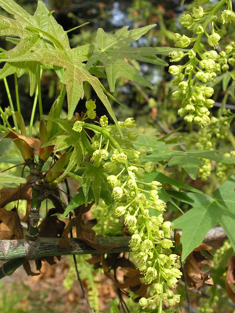 Header of Acer Macrophyllum