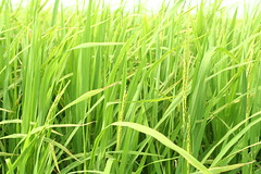 grass(0.0), food(0.0), phragmites(0.0), lawn(0.0), pasture(0.0), grassland(0.0), prairie(1.0), agriculture(1.0), sweet grass(1.0), field(1.0), plant(1.0), chrysopogon zizanioides(1.0), green(1.0), paddy field(1.0), crop(1.0), meadow(1.0),