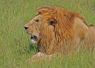 Lion, Masai Mara, Kenya | by Paul Mannix